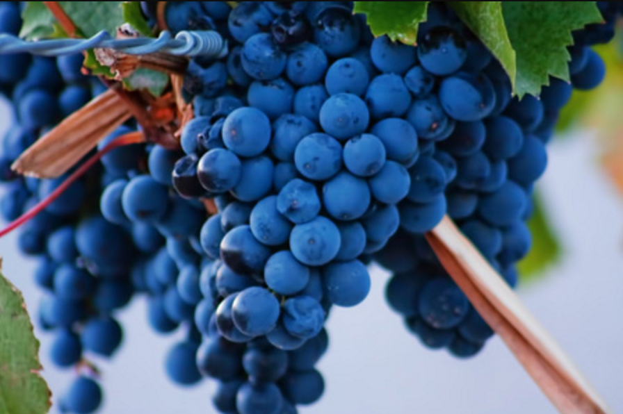 The history of Malbec & Malbec Day: French origins with new roots in  Argentina and Chile